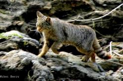 5706_pisica-salbatica-felis-silvestris_02