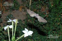 fluture_noapte003