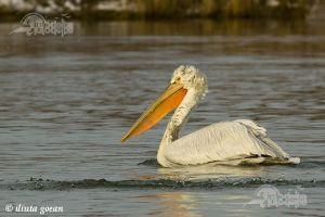 pelicanul-cret1